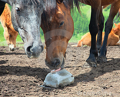 Horse licking salt