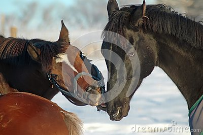 Horse play in snow