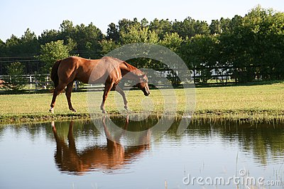 Horse at the pond