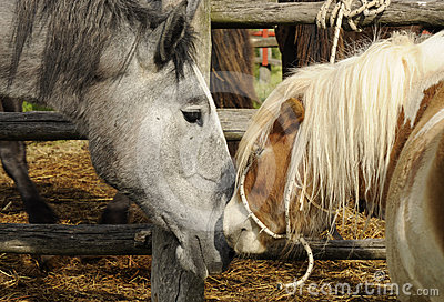 Horse and pony nuzzling