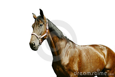 Horse portrait isolated on white