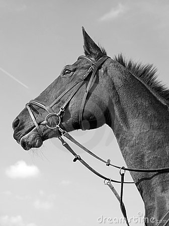 Horse portrait monochrome