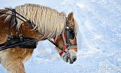 Horse portrait in winter
