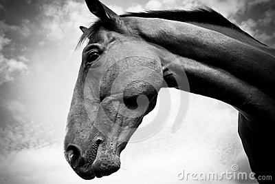 A horse in profile in black and white