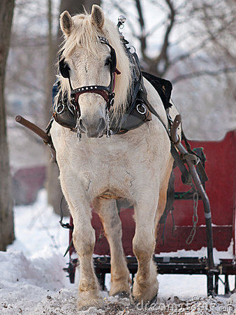 Horse pulling sleigh in winter