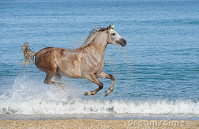 Horse running gallop on the sea