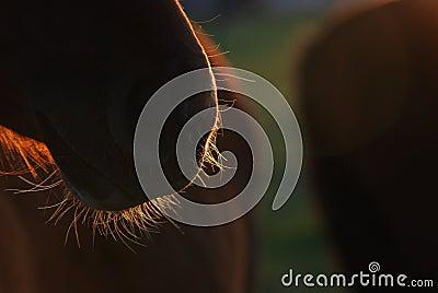 Horse s beard