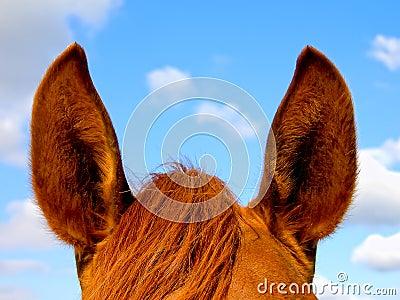 Horse s ears