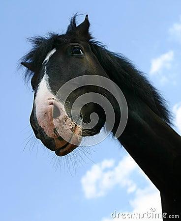 A horse`s head