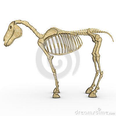 Free Horse Skeleton Stock Photo - 48761810