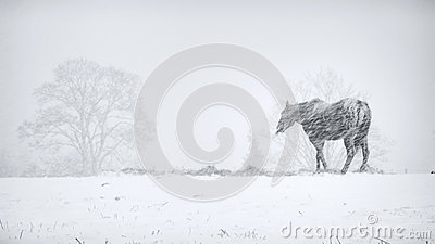 Horse in snow storm