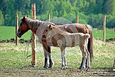 Horse and Stallion