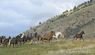 Horse stampede on  Montana horse ranch