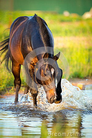 Horse standing in water, Trakehner horse