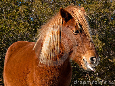 Horse tongue
