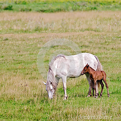 Free Horse White With A Foal In The Meadow Stock Images - 33944404