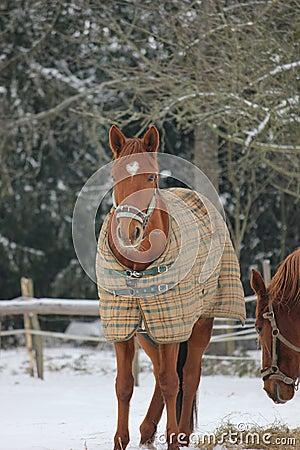 Horse in Winter Coat
