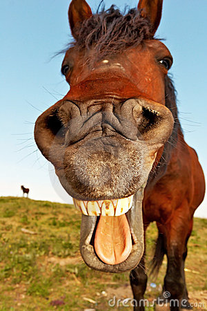 Free HORSE With Mouth Open And Tongue Out Stock Images - 8523554