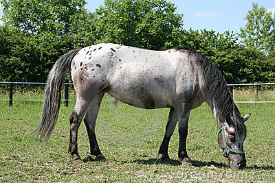 horse - young mare Appaloosa