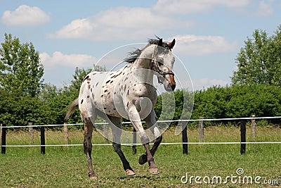 horse - young stallion Appaloosa