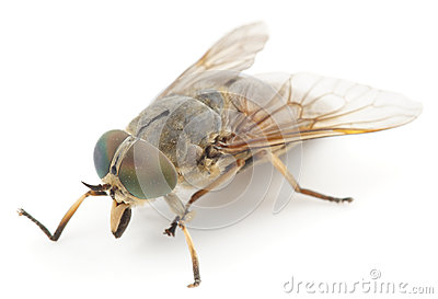 Horsefly, isolated