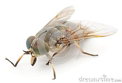 Horsefly, isolated