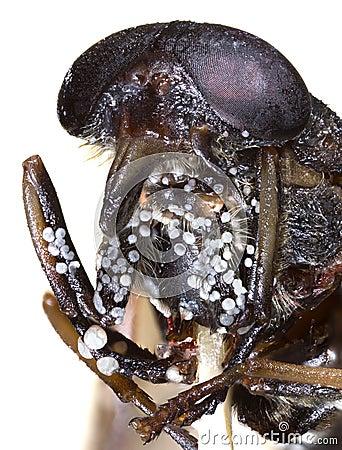Horsefly Macro Cutout