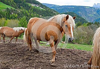 Horses in Alps