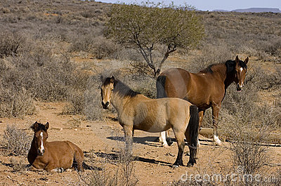 Horses in arid landscape