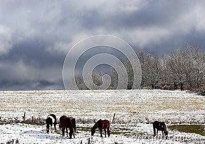 Horses in Autumn Snow