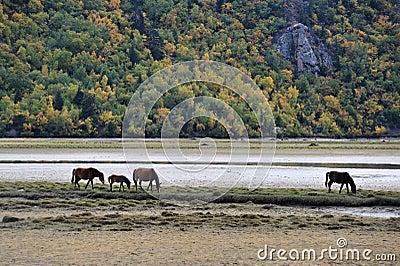 Horses browsing near  mountain lake