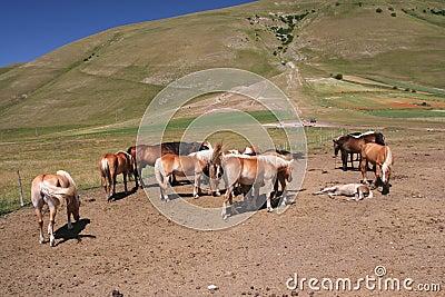 Horses in Castelluccio di Norcia