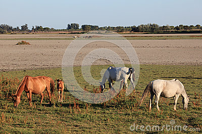 Horses in the Donana National Park