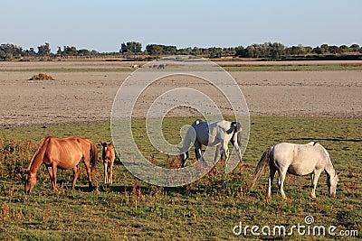 Horses in the Donana National Park