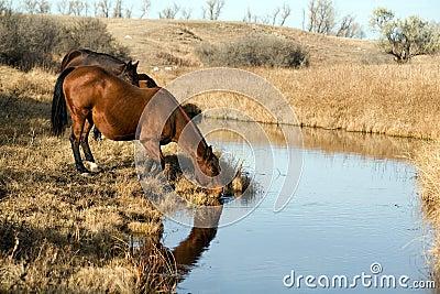 Horses Drinking At Creek