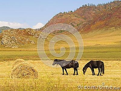 Horses eat hay