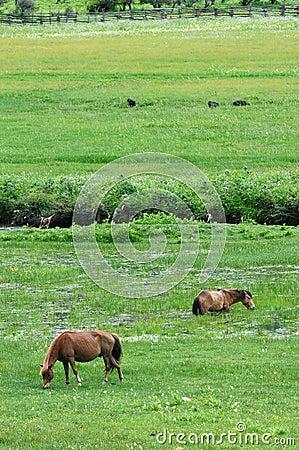 Horses eating grass