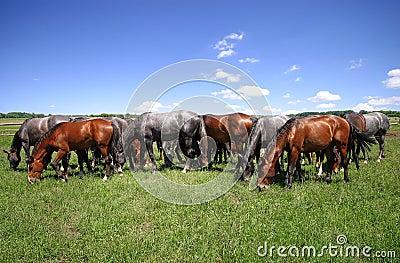 Horses erd on pasture