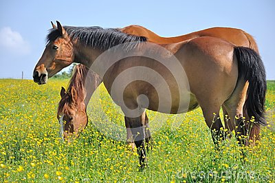 Horses in a flowery meadows