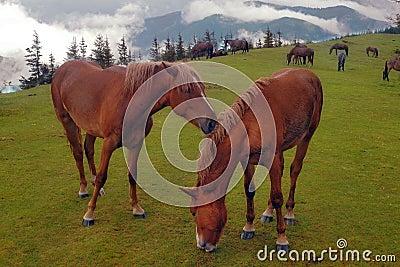 Horses are grazed