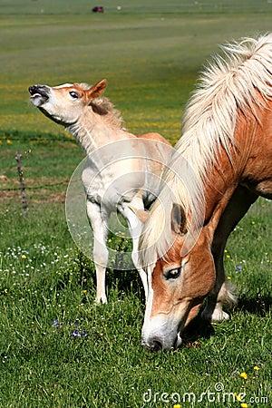 Free Horses Grazing Royalty Free Stock Photo - 2441335