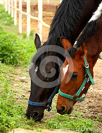 Free Horses Grazing Stock Images - 24983244
