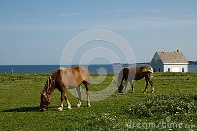 Horses grazing by the coast