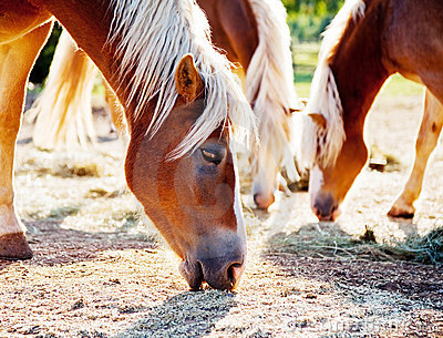 Horses grazing oats