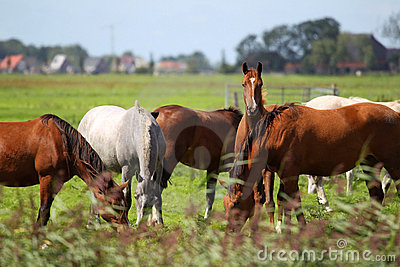 Horses grazing on a pasture