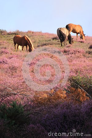 Horses grazing in purple blooming heather field.