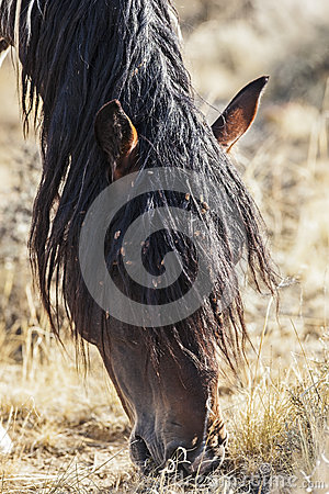 Wild horse grazing with weed seed covered mane