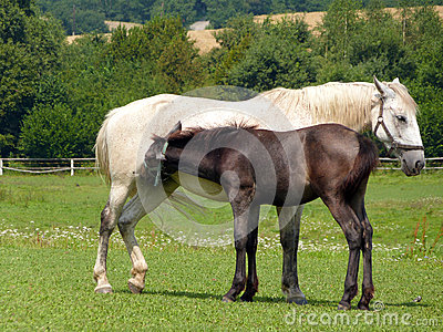 Horses - Mare and Foal breastfeeding
