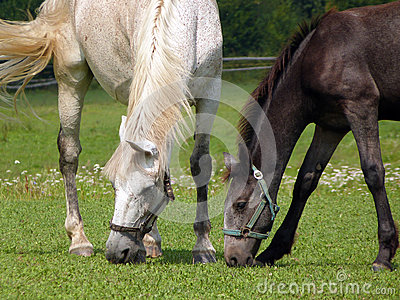 Horses - Mare and Foal