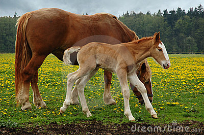 Horses, mom with three days foal